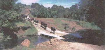 Cattle crossing the silage feeder bridge